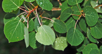 Facts and benefits of Quaking Aspen