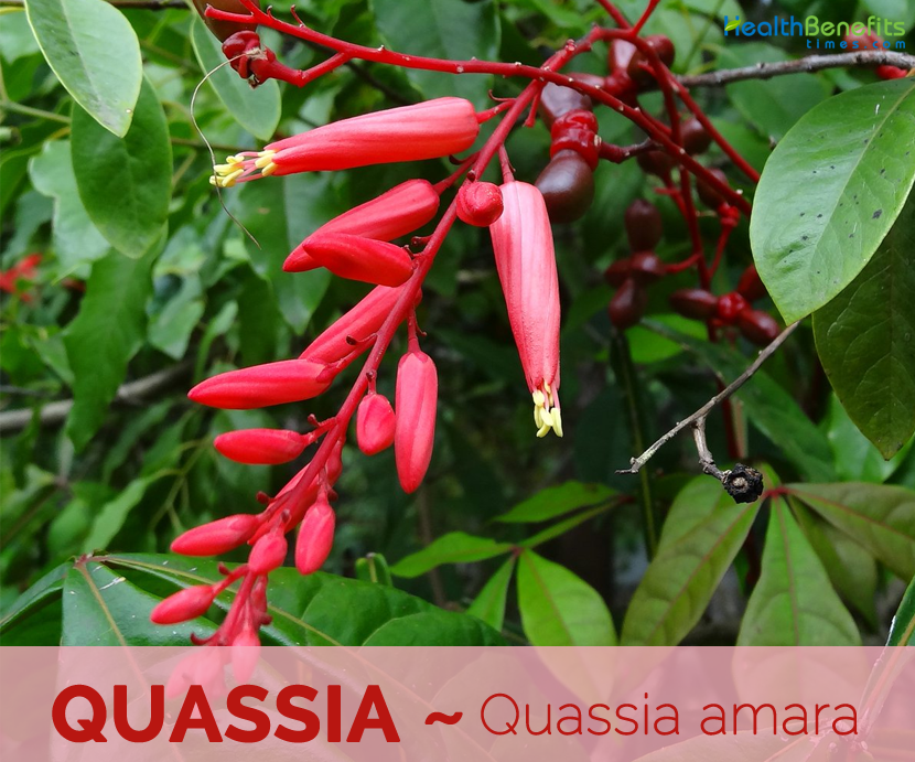 Facts and benefits of Quassia