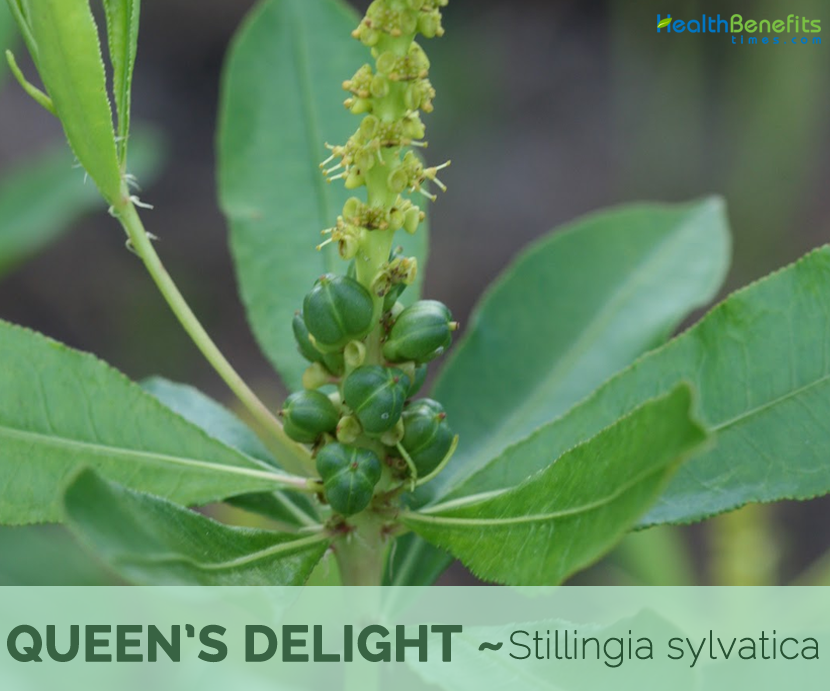 Facts and benefits of Queen's Delight