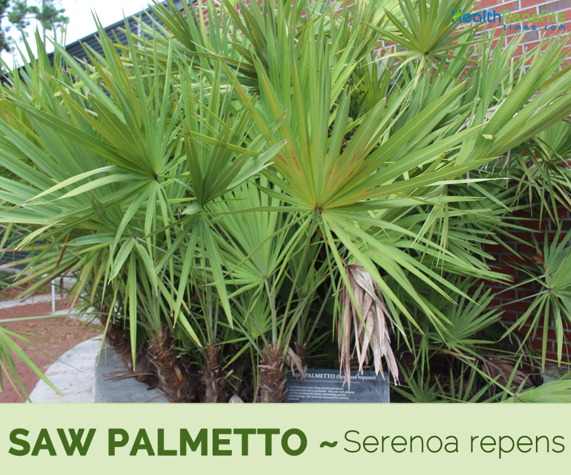 Facts and benefits of Saw palmetto
