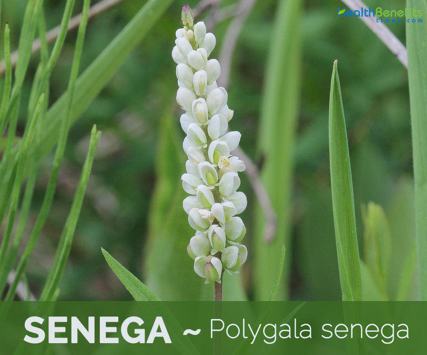 Facts and benefits of Senega