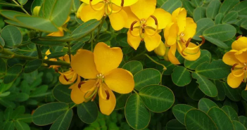 Facts and benefits of Senna