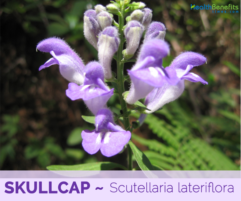 Facts and benefits of Skullcap