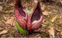 Facts and benefits of Skunk Cabbage