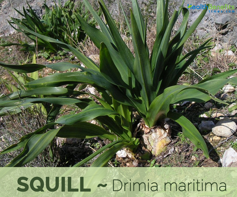 Facts and benefits of Squill