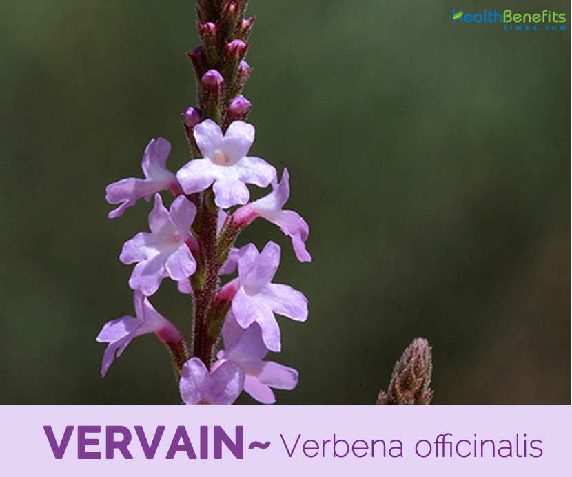 Facts and benefits of Vervain