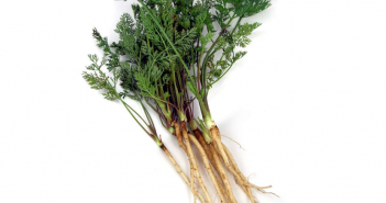 Facts and benefits of Wild Carrot