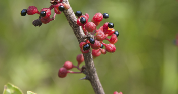Health benefits of Prickly Ash