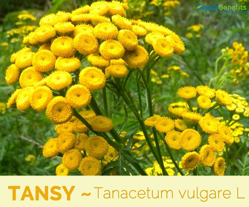 Health benefits of Tansy