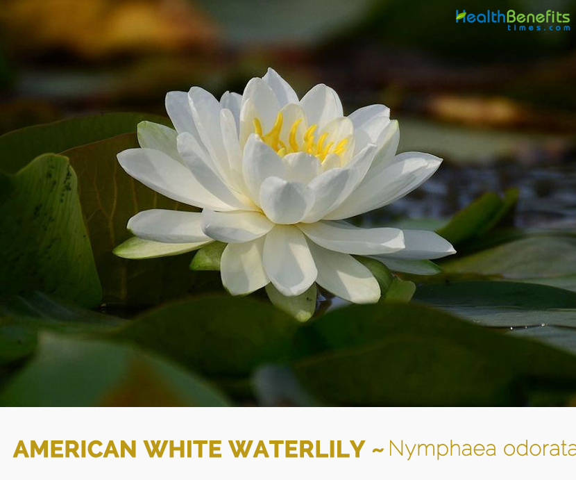 Facts and Benefits of American white waterlily