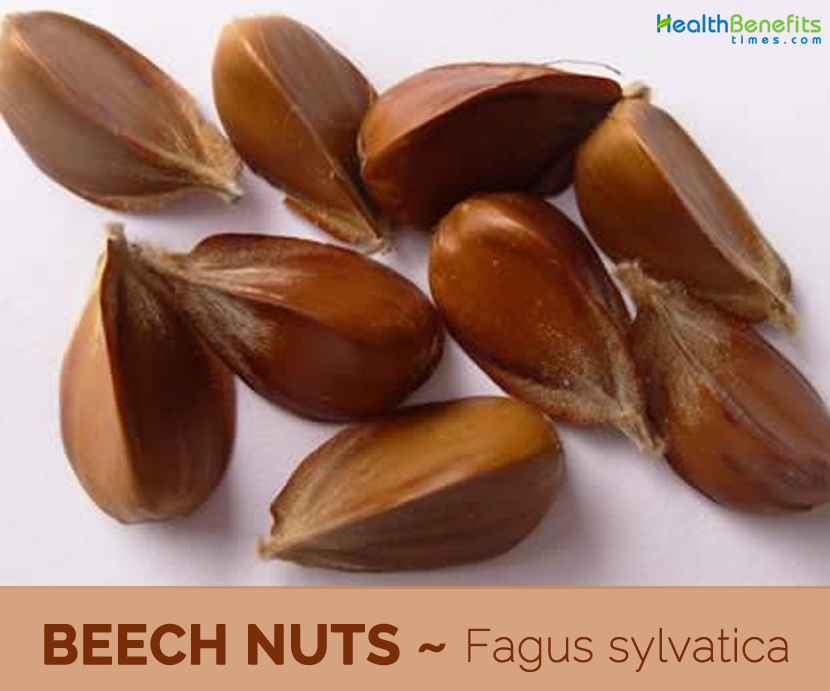 Facts and Benefits of Beech Nut