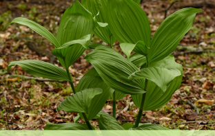 Facts and Benefits of False Hellebore