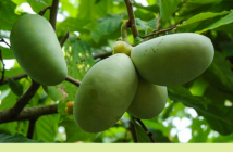 Facts and Benefits of Paw Paw