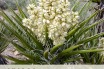 Facts and Benefits of Yucca