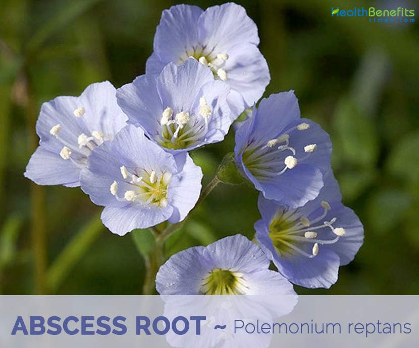 Facts and benefits of Abscess Root