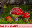 Facts and benefits of Aga (Fly Agaric)