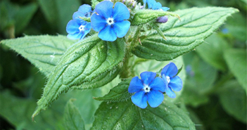 Facts and benefits of Alkanet