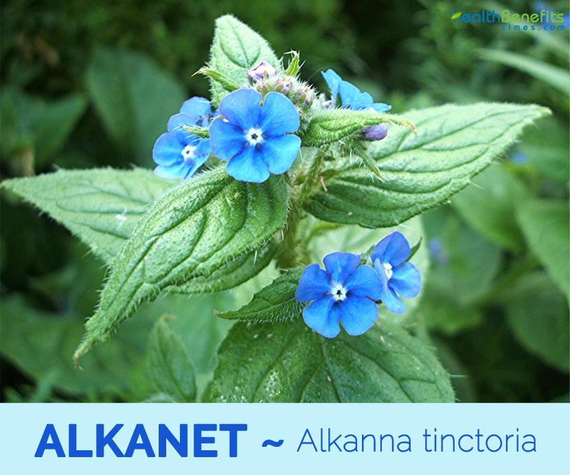 Alkanna Tinctoria Seeds alkanet facts and health benefits