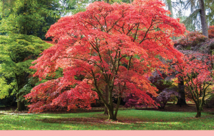 Facts-and-benefits-of-Japanese-Maple