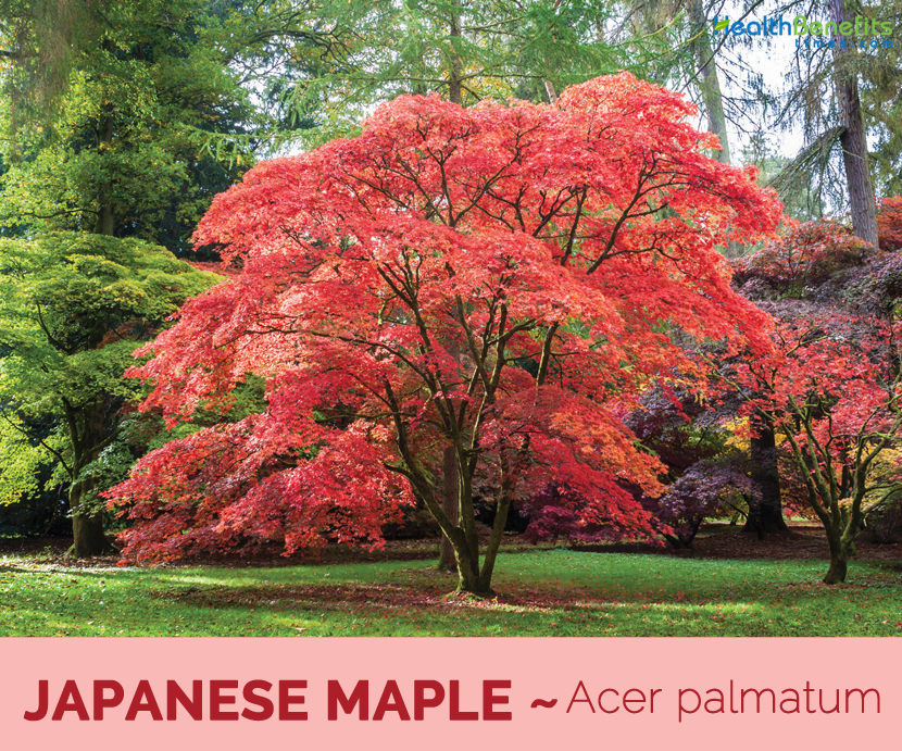 Japanese Maple Facts And Health Benefits