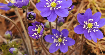 Facts and benefits of Liverworts