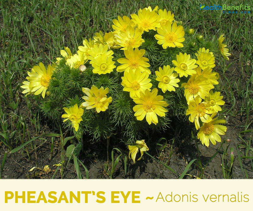 Facts and benefits of Pheasant's Eye