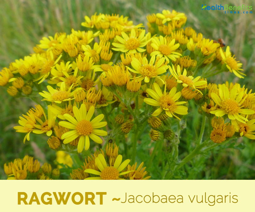 Facts and benefits of Ragwort