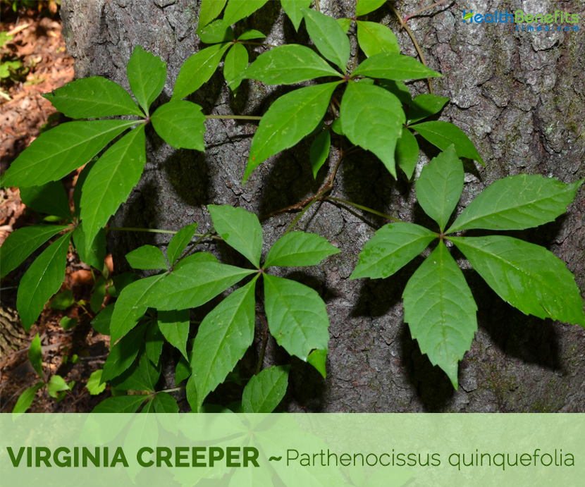 Facts and benefits of Virginia creeper