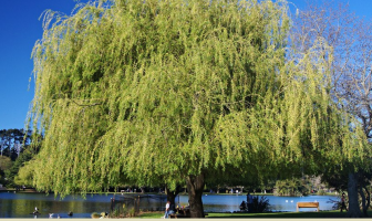 Facts and benefits of Willow