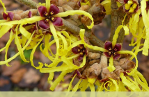 Facts and benefits of Witch Hazel