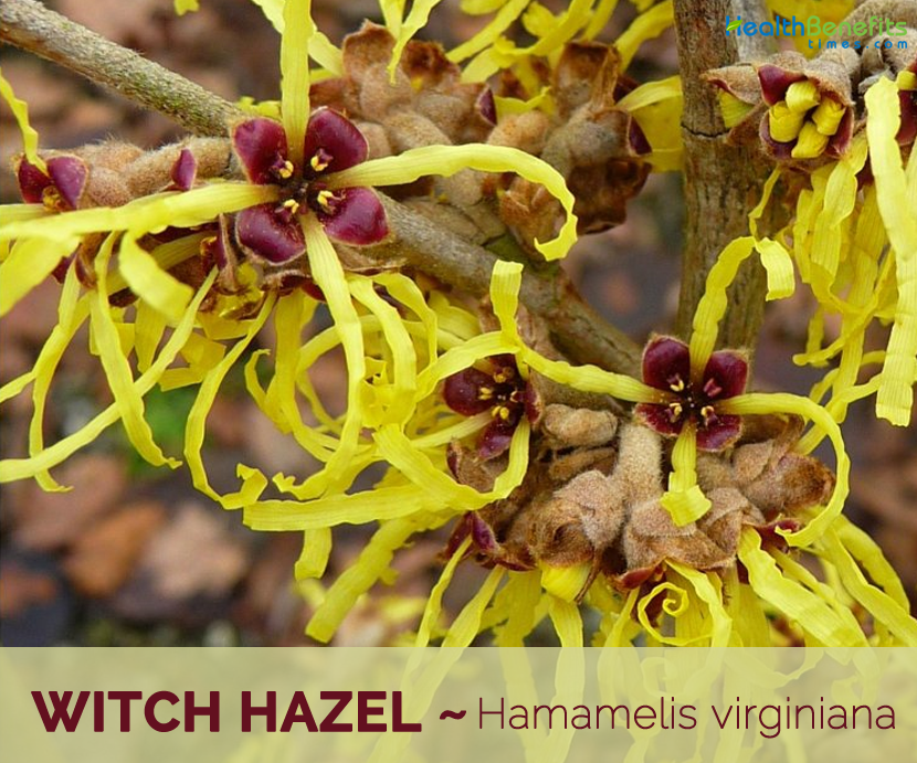 Witch Hazel Facts And Health Benefits