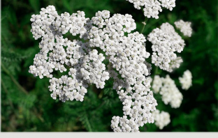 Facts and benefits of Yarrow