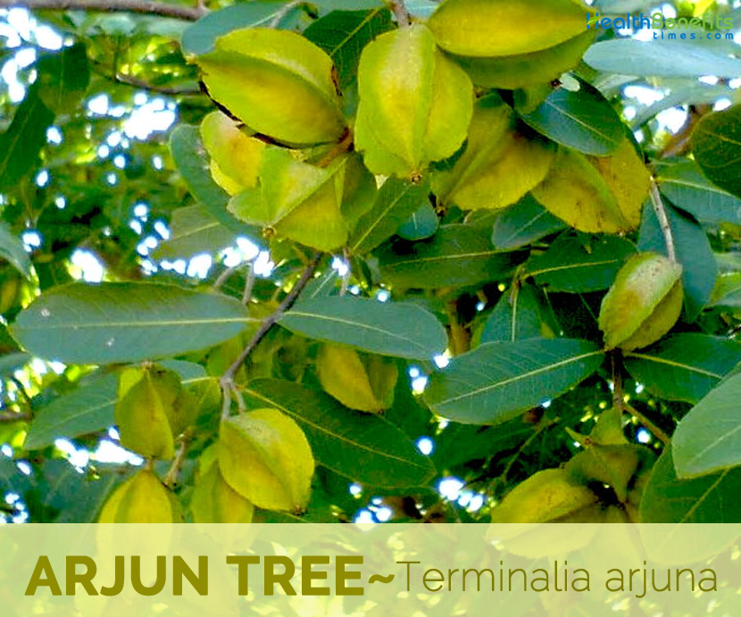 Facts and Benefits of Arjun Tree
