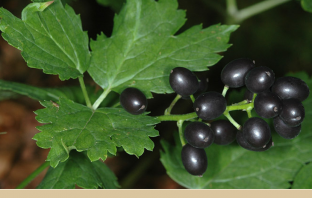 Facts and Benefits of Baneberry