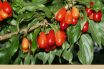 Facts and Benefits of Cornelian Cherry