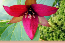 Facts and Benefits of Red Trillium