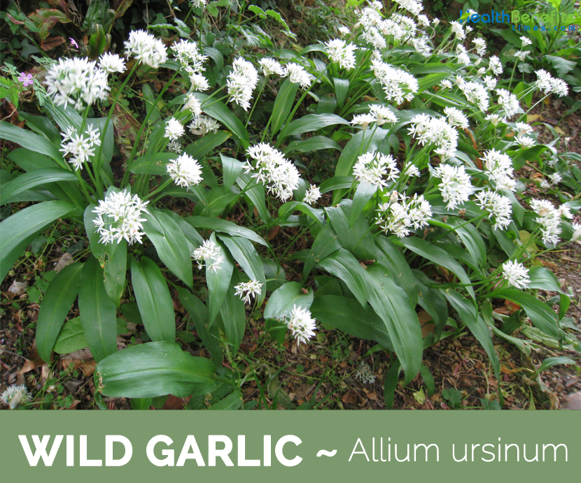 Facts and Benefits of Wild Garlic