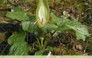 Facts and benefits of Cuckoo Pint (Arum)