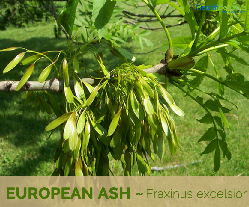 Facts and benefits of European Ash