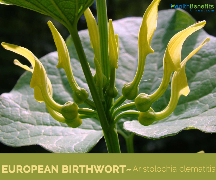 Facts and benefits of European Birthwort