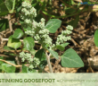 Facts and benefits of Stinking Goosefoot