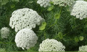 Facts and benefits of Visnaga