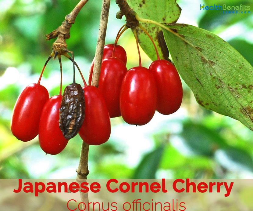 Japanese Cornel Cherry Facts And Health Benefits