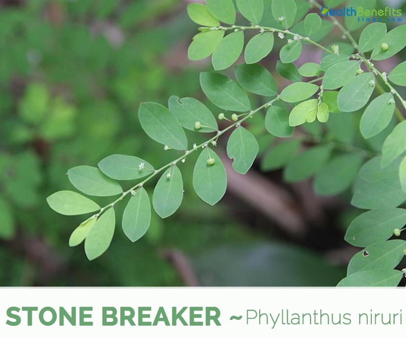 Amazing herb Stone Breaker