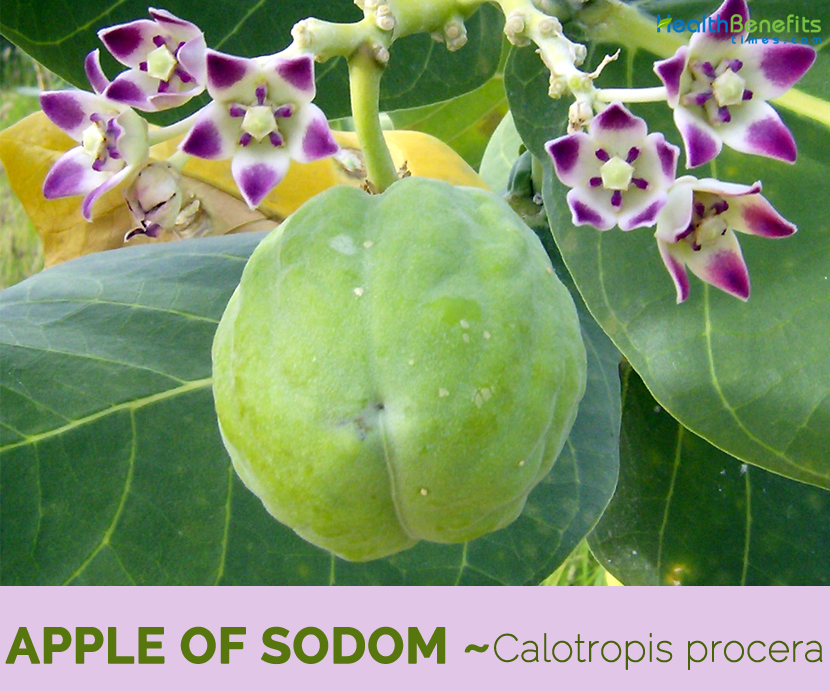 Facts about Apple of Sodom