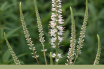 Facts about Black Root (Culver's Root)