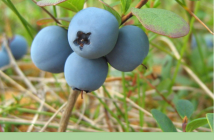 Facts about Bog Bilberry