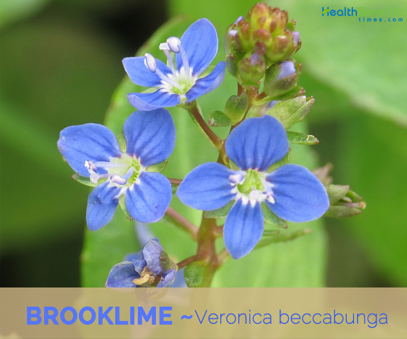 Facts about Brooklime