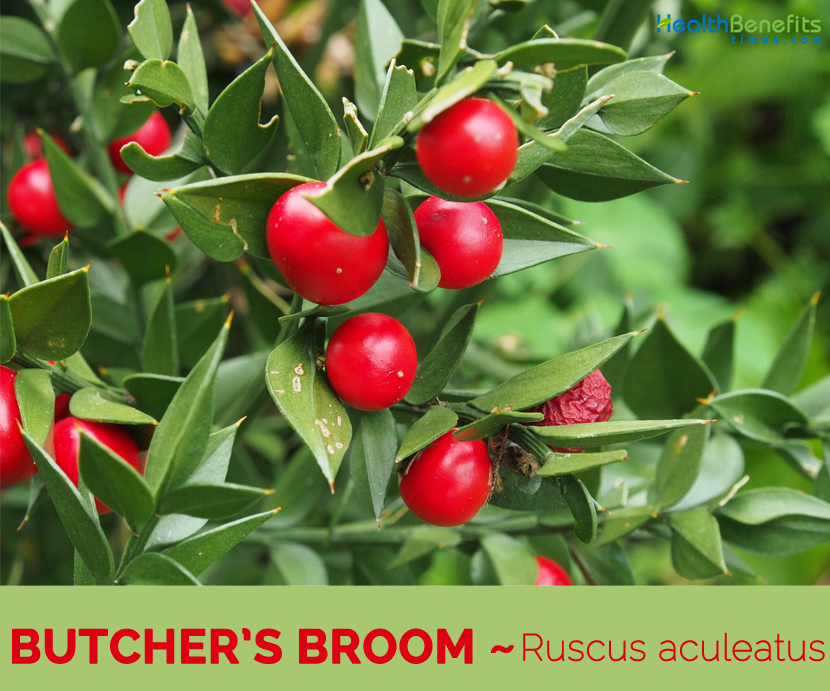Facts about Butcher's Broom