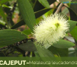Facts about Cajeput